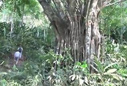 About Reforest Teak